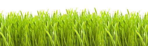 Grass. Over white background
