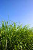 Grass. Green grass and blue sky Royalty Free Stock Photography