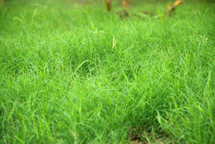 Grass. Natural fresh green grass in a park Royalty Free Stock Photography