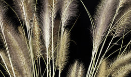 Grass. Dried grass against a black background Royalty Free Stock Images