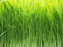 Grass. Fresh grass in a garden, close up Stock Photography