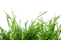 Grass. Isolated green grass on white Stock Photography
