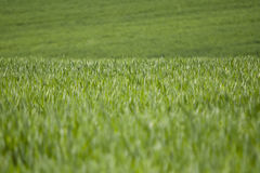 Grass. A fresh and green meadow Royalty Free Stock Images