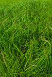 Grass. Bright wet green grass close up. Srednee Kuyto Lake, Karelia, Russia stock photos