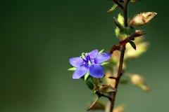 THe grass. The Purple grass 5 petal flower Stock Images
