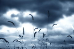 Grass. Silhouette of grass plumes against clouds Stock Photography