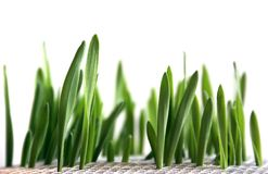 Grass. Young sprouts of green grass Royalty Free Stock Photo