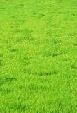 Grass. Green grass background like texture Royalty Free Stock Photography