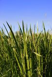 Grass. And Cat tails on Blue Sky Stock Photo