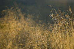 Grass. With blurred background Royalty Free Stock Image