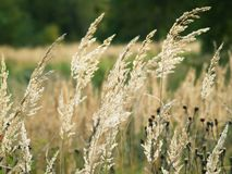 Grass. Thin light stem of grass on sun field background Royalty Free Stock Photography