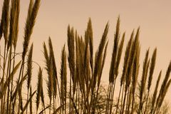 Grass. Pampas grass Royalty Free Stock Image