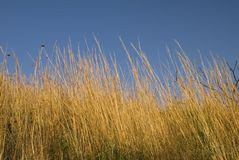 Grass. Long dry grass in front of blue sky background Royalty Free Stock Images