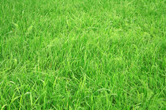 Grass. Close-up of green grass royalty free stock image