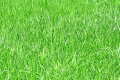 Grass. Close-up of green grass Stock Photo