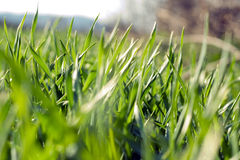 Grass. Close up image of grass Royalty Free Stock Image