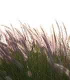 Grass. A meadow of spring grasses backlit against a light background Stock Photography