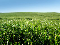 Grass. Close up of fresh cut green grass on a summer day Royalty Free Stock Photo