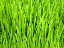 Grass. Green, fresh spring grass grown from the seeds Royalty Free Stock Images