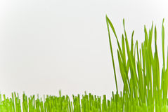 Grass. Green grass on white background Stock Images