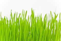 Grass. Green grass on white background Royalty Free Stock Image