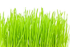 Grass. Green grass on white background Royalty Free Stock Photos