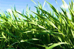 Grass. Close-up of green grass on background of the sky royalty free stock photos