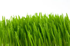 The grass. Green bright juicy grass isolated on white Stock Photos