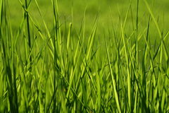 Grass. Close-up of healthy, green grass Royalty Free Stock Photos