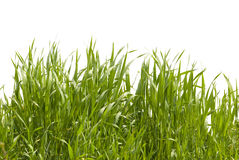 Grass. Long grass on white background stock photo