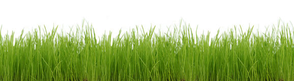 Grass. Green grass royalty free stock photos