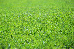 Grass. Green grass background like texture Stock Images