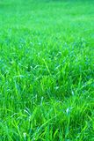 Grass. Photo of some grass-plot Royalty Free Stock Images