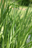 Grass. Close up on grass Stock Photography