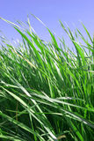 Grass. Fresh, green grass blades in spring Royalty Free Stock Image