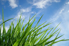 Grass. On a background of the blue sky Stock Image