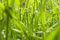Grass. Macro Royalty Free Stock Photo