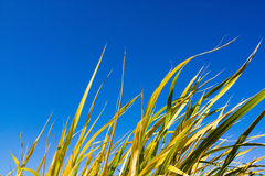 Grass. Picture of yellow grass and sky Royalty Free Stock Image