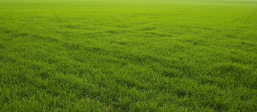 Grass. Fresh lawn green grass background Royalty Free Stock Photography