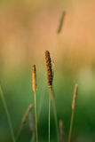 Grass. Flower of brown grass in wild meadow stock image