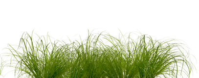 Grass. The picture shows isolated green tufts of grass Stock Photography