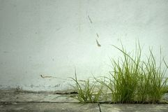 Grass. And Weed in front of textured wall Royalty Free Stock Photography