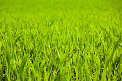 Grass. Fresh grass texture royalty free stock photography