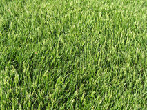 Grass. Close up grass stock photo