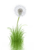 Grass. The picture shows a dandelion growing in grass and reflected in water Stock Image