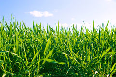 Grass. Close-up of green grass on background of the sky Stock Image
