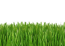 Grass. Green wet grass in the morning Royalty Free Stock Photos