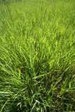 Grass. Some green grass texture in summer Royalty Free Stock Photo