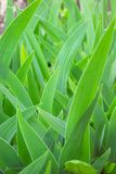 Grass. Green herb colour iris by springtime Royalty Free Stock Photo