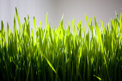 Grass. Background possible to use for printing and project Royalty Free Stock Photography